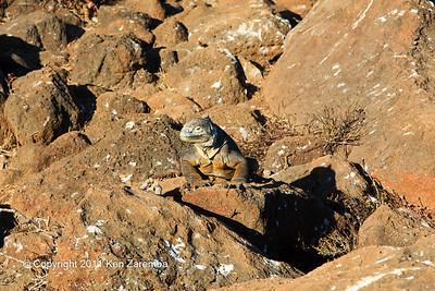 Land Iguana, North Seymour Island 11/01/08