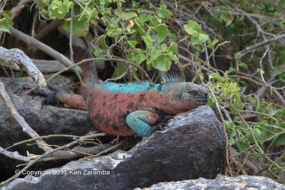 Marine Iguana subspecies venustissimus on Isla Espanola 11/02/08