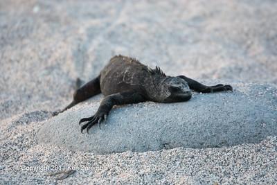 Marine Iguana, hassi subspecies, North Seymour island 11/01/08