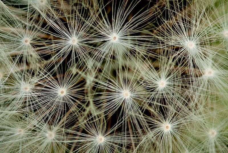 Dandelion Seed Pod