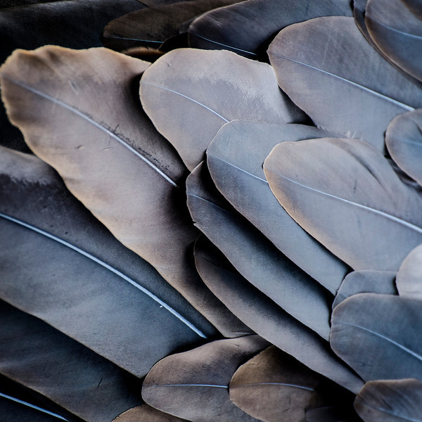 Eagle Feathers (on the eagle)