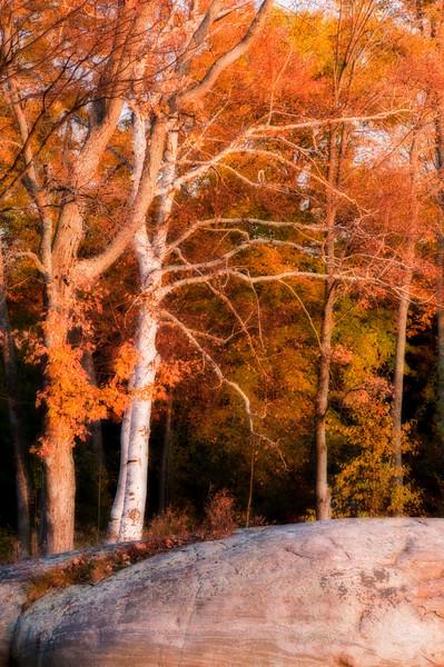 Sunset Birches Dreamscape