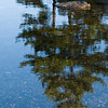 White Pine Reflection