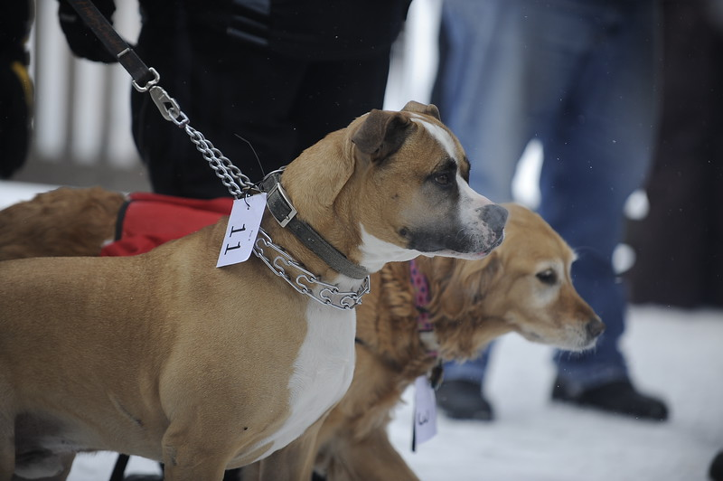 "Nineteen dogs and their owners braved frigid temperatures this past Saturday and participated in Jerry's Pub first annual Dog Pull Competition, ""The Pupsicle 500"". An adjustable sled was engineered to hold the dogs individual weight. The pups were rewarded with homemade dog treats and 'pupsicles' for entering. Cash Prizes were rewarded to 1st, 2nd and 3rd place.<br /> <br /> 1st Place: $70<br /> ""Doc""  Weimaraner 90lbs<br /> 6 sec<br /> Dennis Sitarz <br /> <br /> 2nd Place: $20<br /> ""Duke"" Morkie (Maltese/Yorkie) 5lbs<br /> 6.97 sec<br /> Steve Moser<br /> <br /> 3rd Place: $10<br /> ""Jackson"" English Springer Spaniel 35lbs<br /> 7:25 sec <br /> Levangie"