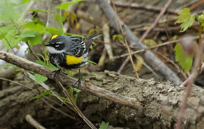 Yellow-rumped Warbler - myrtle