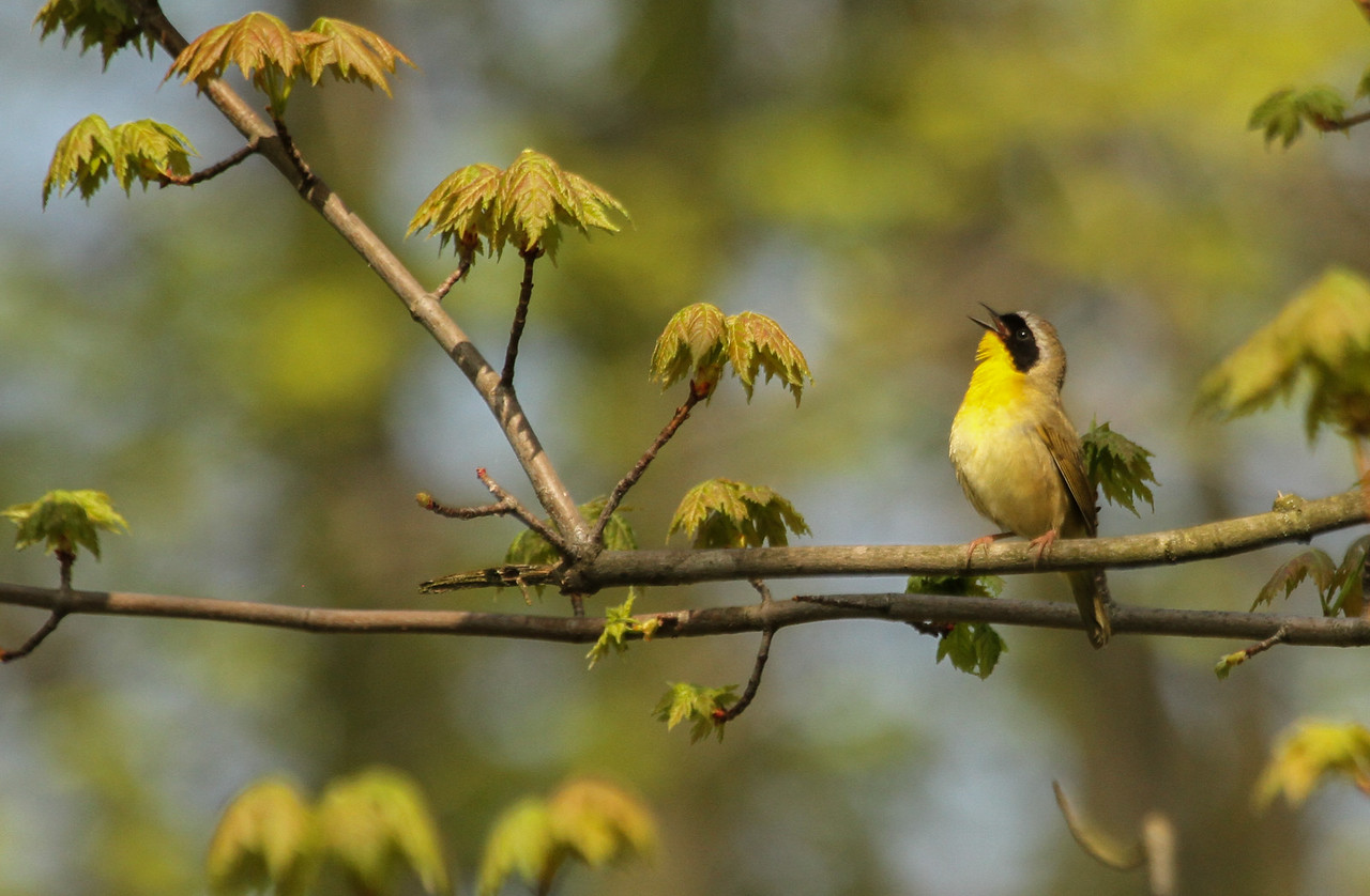 Common Yellowthroat-male