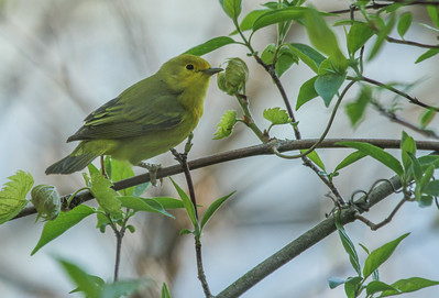 Yellow Warbler - female