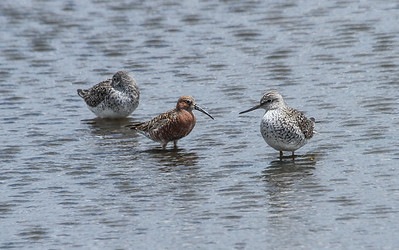 Curlew Sandpiper - middle