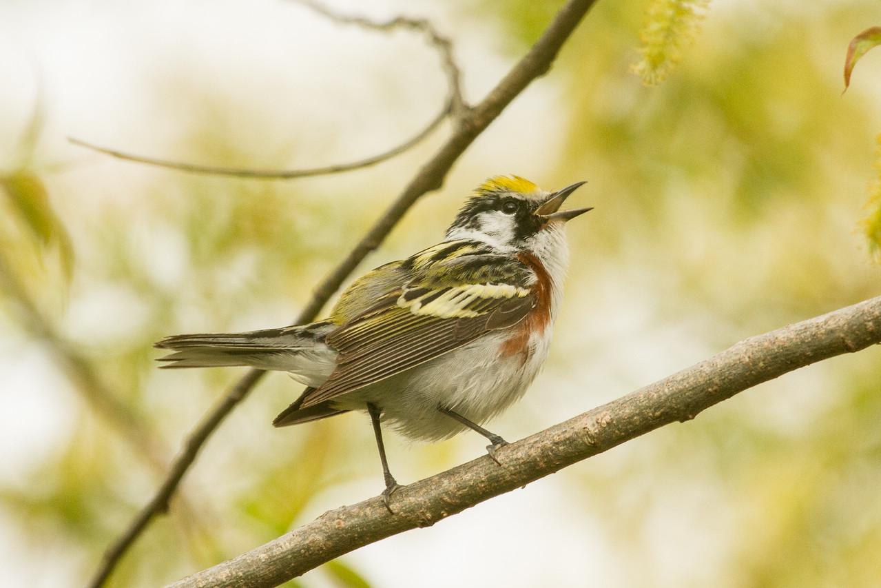 Chestnut- Sided Warbler