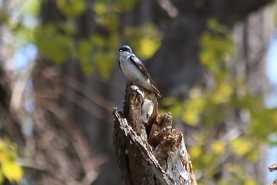 Darlene Christensen - tree swallow