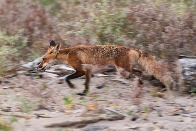 Hungry Like a Fox