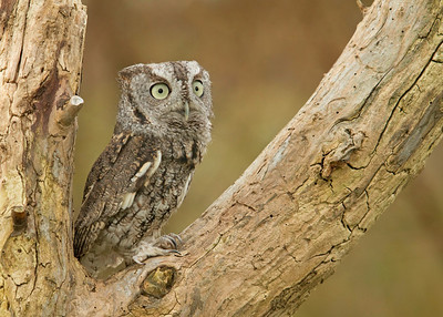 Eastern Screech Owl in a Tree