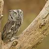 Eastern Screech Owl in a Tree