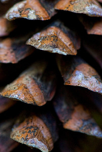 Up close and personal with a pinecone