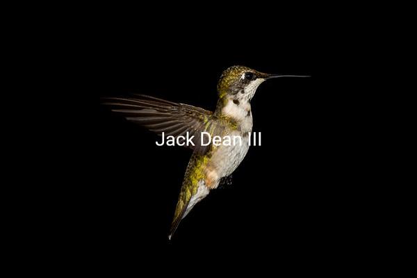 Juvenile Male Ruby-throated Hummingbird