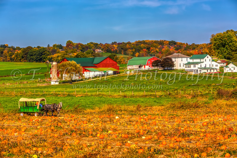 A pumpkin patch and Amish farm near Berlin, Ohio, USA.