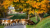 Dairy cows crossing the road with fall foliage color near Charm, Ohio, USA.
