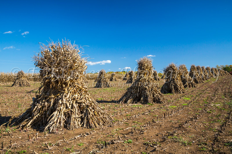 Corn shocks in a field in Coshockton County, Ohio, USA.