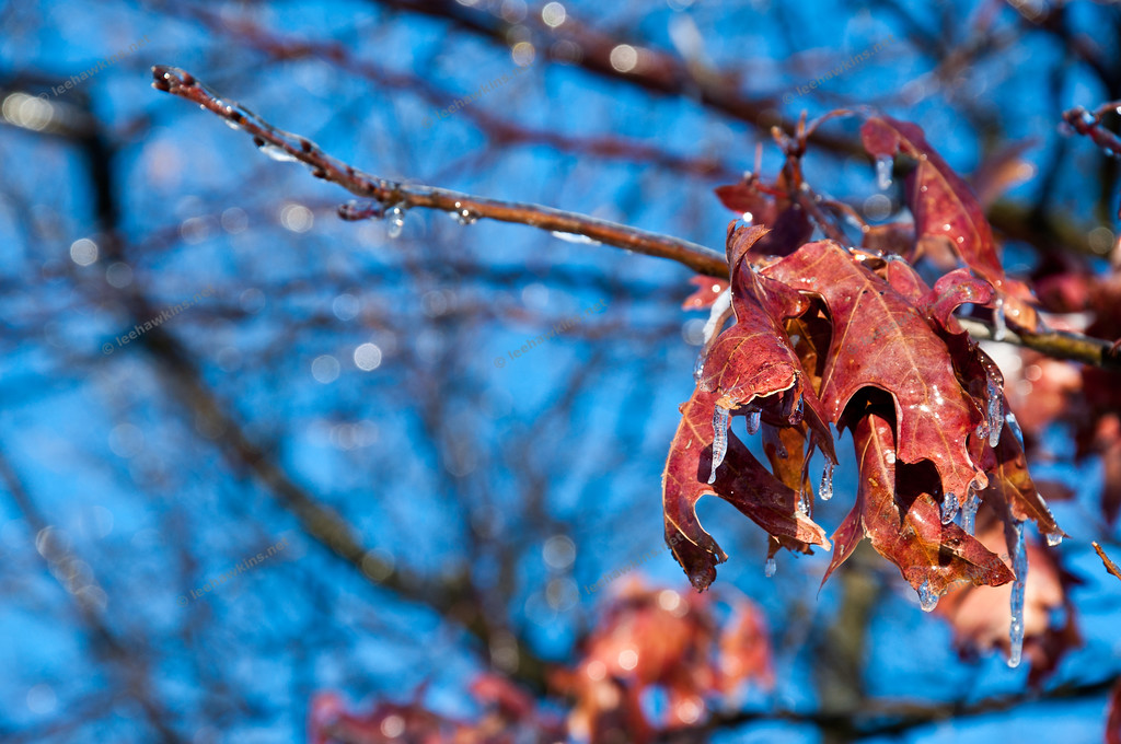 Leftover maple leaves encased in ice after a winter storm in February 2011.