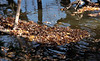 Rafts of leaves in the river shallows.<br /> <br /> Along the Maumee River at Providence Park.