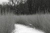 Before mine, only deer tracks on this path.<br /> <br /> A path through the restored tall grass prairie in Secor Park, Toledo, Ohio.