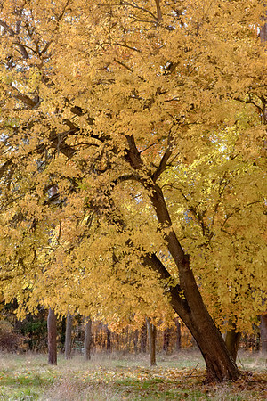 Beautiful, bright yellow, American Basswood tree (Tilia americana).  This tree is located in the Cuyahoga Valley National Park in Ohio.  This tree is in the linden family.