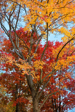 Oak and Maple trees at their peak of fall color.  These trees are located in the Cuyahoga Valley National Park in Ohio.