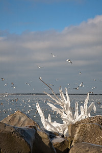 Ice on tree growing out of boulders at Gordon Park.  The seagulls are going after fish attracted by the warm water released into Lake Erie by the nearby Cleveland Power Plant.
