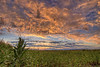 A warm sunset paints the sky over a cornfield in St. Mary's, OH on Friday, August 7, 2015. Copyright 2015 Jason Barnette