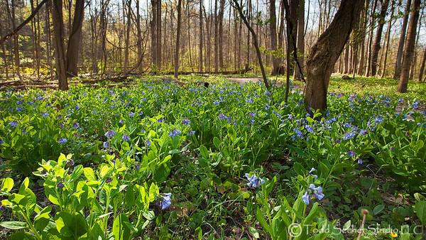 Spring Flowers (4401) Mill Hollow - Vermilion, Ohio