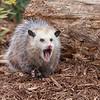 Blossom the Oppossum