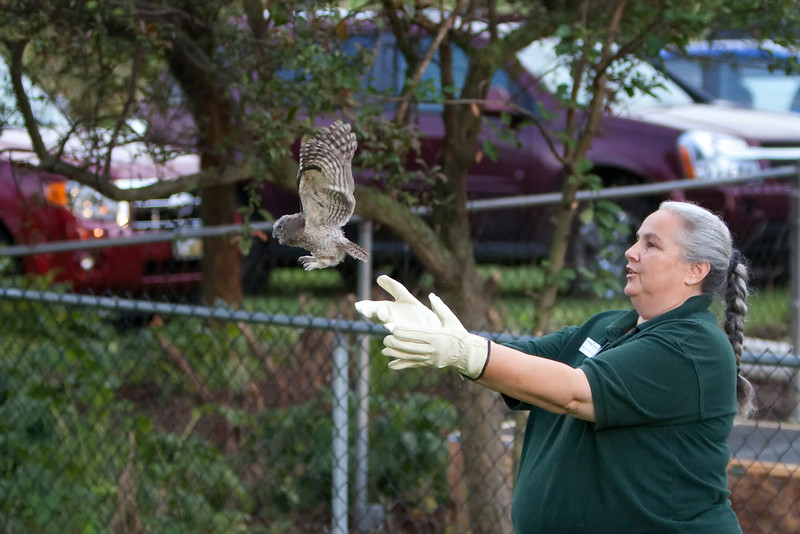 Manno releasing the first young Eastern Screech Owl back into the wild
