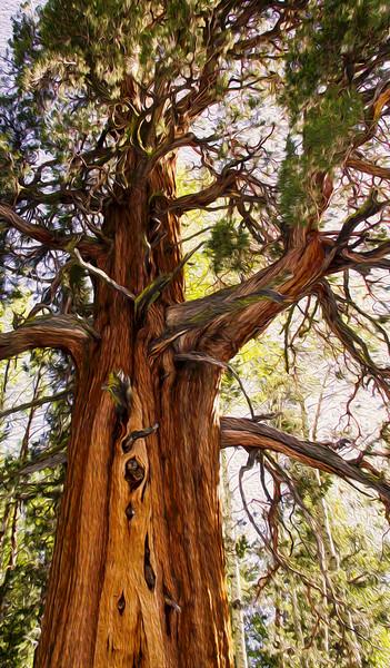 Sierra Nevada Juniper Tree
