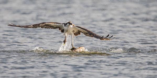 Balbuzard pêcheur, Osprey