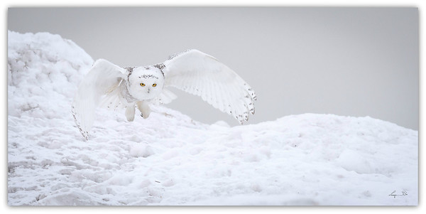 Harfang des Neiges, Snowy Owl.