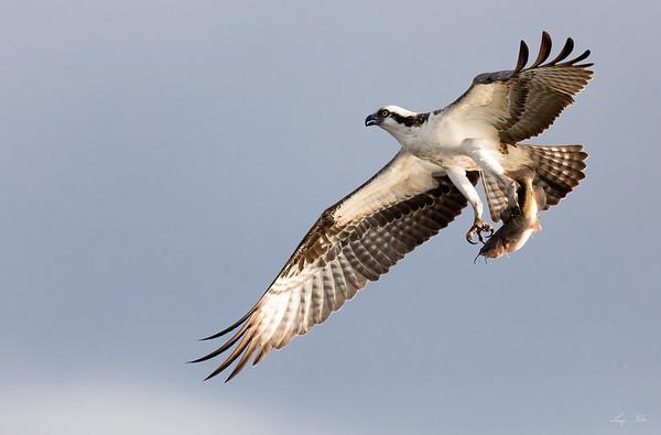 Balbuzard pêcheur, Osprey.