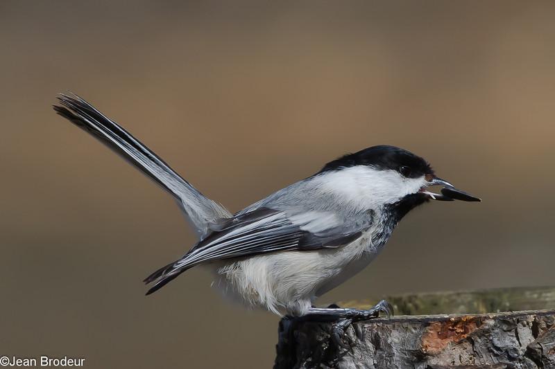 Mésange a tete noire, Black capped Chickadee, Poecile atricapillus, Paridae, Passeriformes<br /> 3271, St-Hugues, Quebec, 12 avril 2011