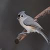 Mésange bicolore, Tufted Titmouse, Baeolophus bicolor, Paridae, Passeriformes<br /> 1186, St-Hugues, Quebec, 29 octobre 2012