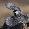 Mésange a tete noire, Black capped Chickadee, Poecile atricapillus<br /> 3274, St-Hugues, Quebec, 12 avril 2011