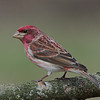 Roselin pourpré male, Purple finch, Carpodacuc purpureus<br /> 2016, St-Hugues, Québec, 2010