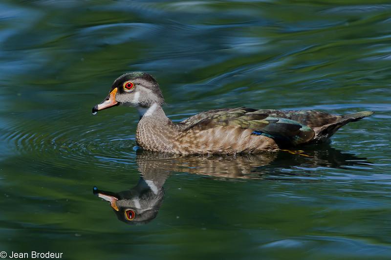 Jeune canard branchu male, Wood duck, Aix sponsa<br /> 9632, St-Bruno-de-Montarville, Québec, été 2010