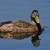 Canard noir male, American black duck, Anas rubripes<br /> 9599, St-Bruno-de-Montarville, Québec, été 2010
