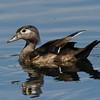 Canard branchu femelle, Wood duck, Aix sponsa<br /> 9574, St-Bruno-de-Montarville, Québec, été 2010