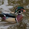 Canard branchu male, Wood duck, Aix sponsa, , Anatidae, Anseriformes<br /> 2468, Lac Boivin, Granby, Québec, été 2010