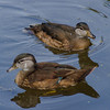 Jeunes canard branchu , Wood duck, Aix sponsa<br /> 2044, Lac Boivin, Granby, Québec, été 2010