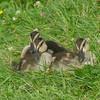 Petits canard Colvert,  Mallard,  Anas platyrhynchos <br /> 8989, Jardin Botanique de Montreal, Quebec,  2 aout 2014