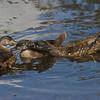 Jeunes canard branchu femelle, Wood duck, Aix sponsa<br /> 2051, Lac Boivin, Granby, Québec, été 2010