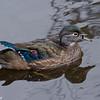 Canard branchu femelle, Wood duck, Aix sponsa<br /> 2385, Lac Boivin, Granby, Québec,été 2010