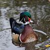 Canard branchu male, Wood duck, Aix sponsa<br /> 2366, Lac Boivin, Granby, Québec, été 2010