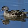 Canard branchu femelle, Wood duck, Aix sponsa<br /> 3893, Lac Boivin,GranbyQuébec,19 avril 2011